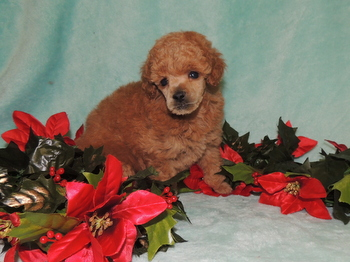 Sugar -  Poodle Puppy For Sale