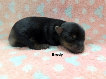 Brody -  Yorkshire Terrier Puppy Reserved