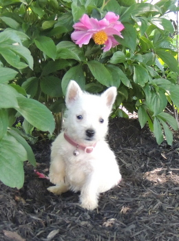 Daisey Deodato -  West Highland White Terrier Puppy Reserved
