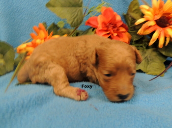 Foxy -  Poodle Puppy Reserved