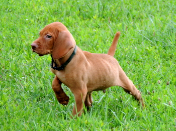 Buster Nowell -  Vizsla Puppy Reserved