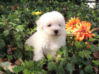 Bubbles -  Bichon Frise Puppy For Sale