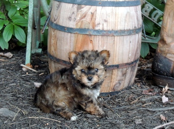 Mitchell -  Yorkie-Poo Puppy For Sale