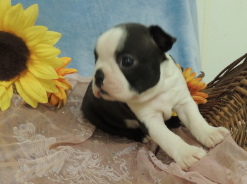 Bandit Ferguson -  Boston Terrier Puppy Reserved