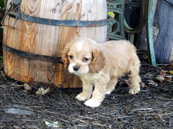 Amelia Hastings -  Cocker Spaniel Puppy Reserved