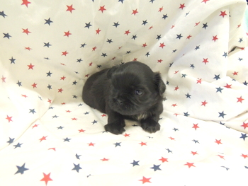Lincoln -  Shih Tzu Puppy Reserved