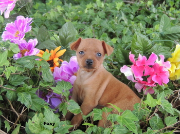 Foxy -  Miniature Pinscher Puppy Reserved
