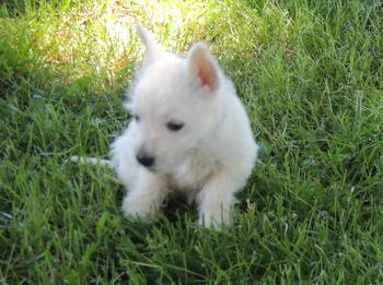 Bailey Perks -  West Highland White Terrier Puppy Reserved