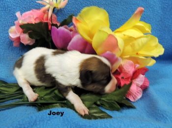 Joey Spoonamore -  Papillon Puppy Reserved