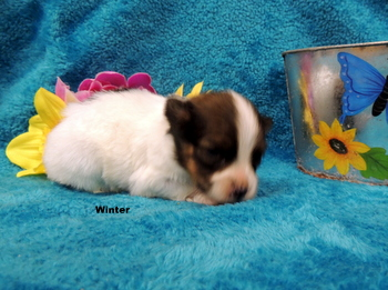 Winter -  Papillon Puppy Reserved
