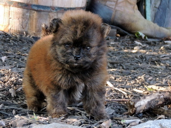 Leo -  Pomapoo Puppy For Sale