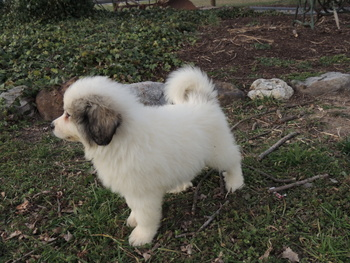 Salty -  Great Pyrenees Puppy For Sale