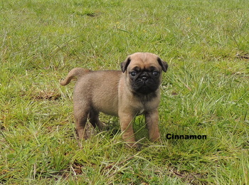 Cinnamon Dowhanik -  Pug Puppy Reserved