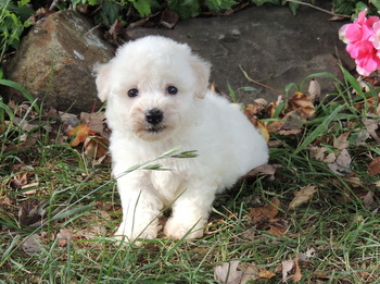 Desiree -  Bichon Frise Puppy Reserved