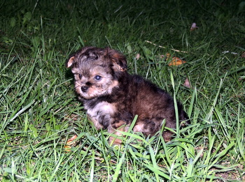 Louise Piepho -  Yorkie-Poo Puppy Reserved