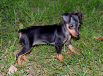 Lady -  Miniature Pinscher Puppy For Sale