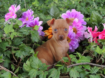 Molly Hill -  Miniature Pinscher Puppy Reserved