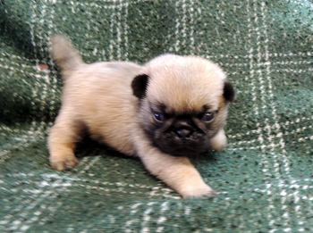 Murphy Easter -  Pug Puppy Reserved