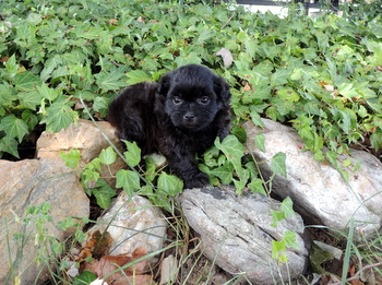 Raven Bartley -  Shih Poo Puppy Reserved