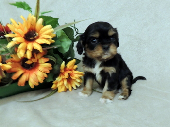 Darcy -  Cavalier King Charles Spaniel Puppy For Sale