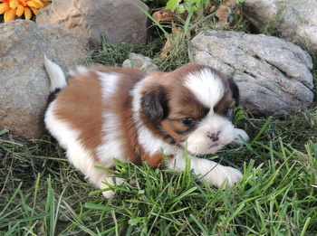 Cody -  Shih Tzu Puppy For Sale
