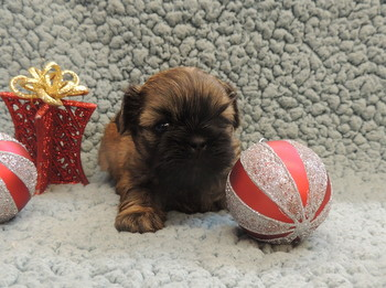 Quincy -  Shih Tzu Puppy Reserved