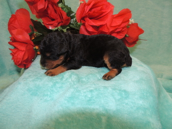 Butterball Poe -  Schnoodle Puppy Reserved