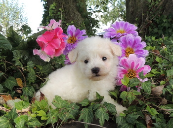 Ruby Harris -  Bichon Frise Puppy Reserved