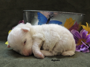 Agnes -  Bichon Frise Puppy Reserved