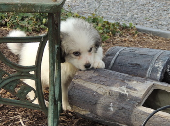 Sugar -  Great Pyrenees Puppy For Sale