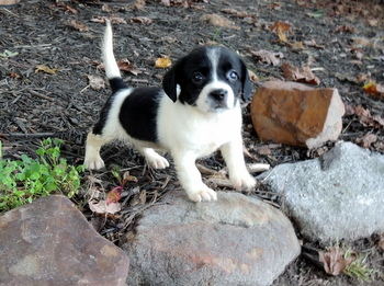 Hope -  Bea-Tzu Puppy For Sale