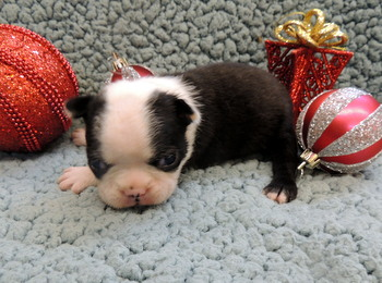 Zoe Deffley -  Boston Terrier Puppy Reserved