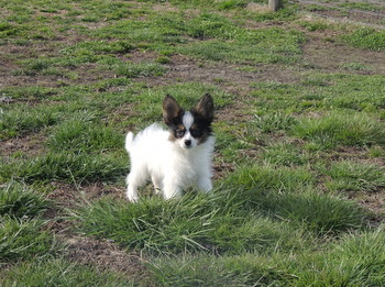 Murphy -  Papillon Puppy For Sale
