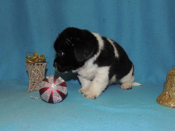 Chewy -  Bea-Tzu Puppy For Sale