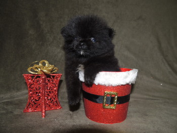 Tiny -  Pomeranian Puppy Reserved