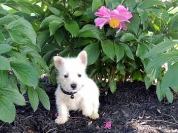 Molly Zimmerman -  West Highland White Terrier Puppy Reserved