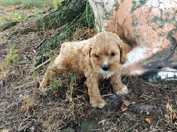 Buddy -  Cockapoo Puppy For Sale