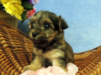 Chester -  Yorkie-Poo Puppy Reserved
