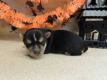Petey Dumornay -  Morkie Puppy Reserved