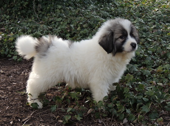 Sandy Brown -  Great Pyrenees Puppy Reserved