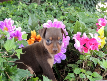 Smith Lombardi -  Miniature Pinscher Puppy Reserved