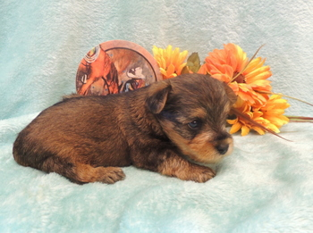 Chester Emerson -  Yorkie-Poo Puppy Reserved