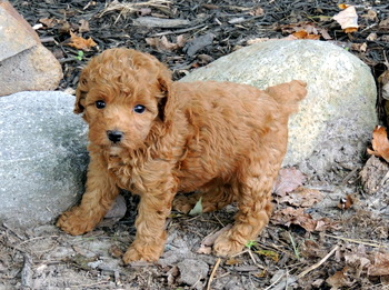 Artemis Jackson -  Poodle Puppy Reserved