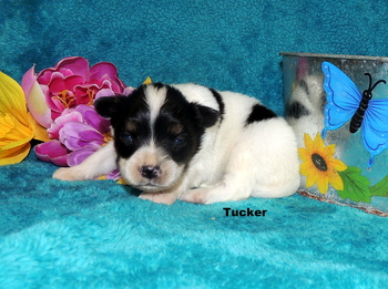 Tucker -  Papillon Puppy For Sale