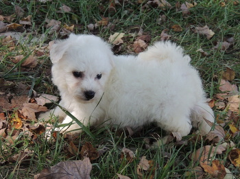 Billy -  Bichon Frise Puppy Reserved