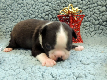 Ulysses O'Donnell -  Boston Terrier Puppy Reserved