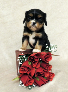 Bennet Hoffman -  Cavalier King Charles Spaniel Puppy Reserved