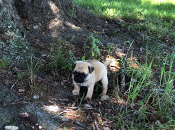 Leah Phillips -  Pug Puppy Reserved