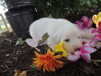 Drake -  Great Pyrenees Puppy Reserved