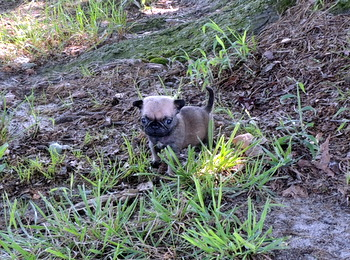 Ava -  Pug Puppy For Sale
